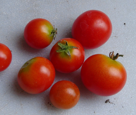 """Here is the Pinocchio Tomato, Solanum lycopersicum. The Pinocchio Tomato is a micro dwarf variety and originated in the USA. This is a variant of the Orange Pinocchio Tomato. The plants can get to 8 inches tall but will stay much smaller if pruned regular. the fruits are dark orange and get to around 3/4 inches round. This variety is classified as a """"determinate"""" type but we found that with regular pruning and good maintenance, the plants can live for years in small pots! The fruits are very tasty and sweet! Open pollinated early season regular dwarf leafdeterminate40 to forever days."""