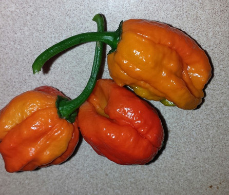 Here is the 7 Pot Primo Orange Pepper, Capsicum chinense, Scoville units: 1,000,000 to 1,500,000 SHU. This peppers originates from Louisiana USA and was created by Troy Primeaux. It is a cross between a Naga Morich and a Trinidad 7 Pot pepper in or around 2005. The pods can range in size from 1.5 to 2.7 inches across. Fruits start out green in color and turn to orange when fully ripe. Plants can get to 3.5+ feet tall and tend to be a medium-large sized plant but if pruned and potted they tend to stay small like 3 feet tall and bushy. Pods have an amazing flavor with a very nice uniqueness and medium to low heat and very satisfying. Some peppers may be extremely hot so be careful! These make a great drying pepper with the walls being thin an will dry on the plant if left on. It's also good for fresh eating too! Very rare and hard to get variety! Open pollinated mid to late season 70 to 120+ days.