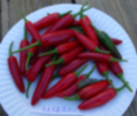 Here is the Serrano Pepper, Capsicum annuum, Scoville units: 10,000 ~ 23,000 SHU. The Serrano Pepper is a chili pepper that originates from Puebla Mexico. In fact Serranias in Spanish means foothills. The flavor is bright and very unique in flavor. Serrano Peppers are 2 to 3 inches long and a 1/2 inch in diameter. With a Crisp and fresh flavor, it is the hottest pepper commonly available in supermarkets next to Habaneros. Unripe peppers are green and turn to red, brown, orange and yellow as they ripen. Serranos are smaller and hotter than a Jalapeno. Plants can get to 4 feet tall and produce dozens of peppers! very heavy producer. Open pollinated, 90 days.