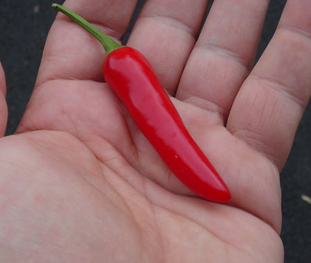 "Here is the Slim Jim Jalapeno Pepper, Capsicum annuum, Scoville units: 3,000 ~ 9,000 SHU. This Jalapeno pepper differs from other jalapeno's in that it is skinnier, more like a Serrano pepper but the taste of a jalapeno! They are heavy producers and have 3 inch finger like pods an goes from green to red and ripen sooner then a regular jalapeno! They can develop a corking or ""cracking"" like texture on the skin giving it a strange look! They can be used the same way you would use any other jalapeno. We found them to be a medium heat type with fewer seeds then the standard size jalapeno. Plants get to 3 feet high and bushy. Open Pollinated, 70 days."