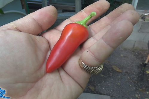 Here is the Harbiye Pepper, Capsicum annuum, Scoville units: 20,000 ~ 50,000 SHU. The Harbiye Pepper originates from a town i