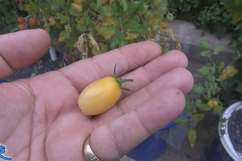 Here is the Mini White Grape Tomato, Solanum lycopersicum, new for 2019. This regular-leaf grape tomato is a creamy bone colo