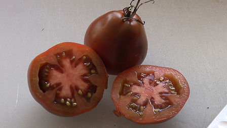 The Japanese Black Trifele Tomato is a Russian heirloom prized for it's rich flavor. There are several color verities of this tomato. The video review down below is on the black verity. It's a Bartlett pear shape type tomato. The plants are a potato leaf type. One the best tasting tomatoes HRS has ever reviewed! Try some today, Open pollinated Indeterminate 75 days.