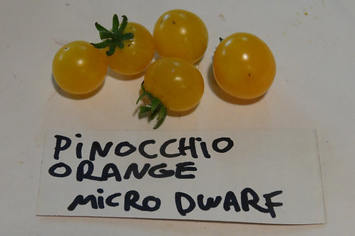 Here is the Pinocchio Orange Tomato, Solanum lycopersicum. This micro dwarf variety of tomato originates from Russia. It is a