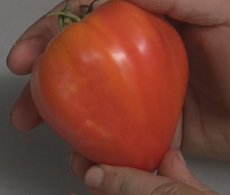 Here is the Orange Russian 117 tomato aka Dawson's Russian Oxheart Tomato, Solanum lycopersicum. This indeterminate, regular leaf bi-color ox-heart tomato is a good producer and is great for a sandwich tomato. It was Bred by Jeff Dawson in the mid 90s from a cross between Russian 117 and Georgia Streak. They tend to get to around 1 Lb! It is Open pollinated. Indeterminate. 50-70 days.