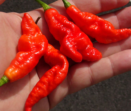 """Here is the SRTSL Pepper, Capsicum chinense, Scoville units: 100,000 ~ 750,000SHU. This pepper originates from the island of Trinidad. SRTSL stands for """"Sara Ragoonan Trinidad Scorpion Long"""". This is basically an elongated Trinidad Scorpion Pepper. Fruits have a good, fruity flavor and an interesting combination of sweet and spice that make them great for hot sauces and eating fresh. The plants are compact but can get to 5 feet tall producing hundreds of pods per plant! Fruits are around 3 inches long and most of the time have a nose or tail the the end. If you like it hot then this one is for you! Open pollinated, 90 days."""