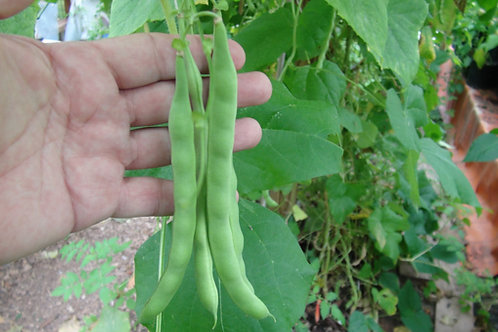 Here is the Kentucky Wonder Pole Bean, Phaseolus vulgaris. This pole bean variety dates back to the 1850's and was originally