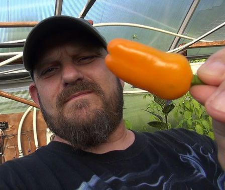 Here is the Mini Yellow Stuffing Pepper, Capsicum annuum, Scoville units: 000 SHU. This sweet Yellow Stuffing Pepper comes from Esther Smucker, an Amish women whose grandmother grew these too and goes way back in history. Adorable mini-bells grow to be 1 to 2 inches. This pepper variety can be very productive! Plants to to 3 feet and Perfect for pickling! Open pollinated, 65-70 days.