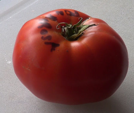 Here is the Ponderosa Red Tomato Solanum lycopersicum. It is also known as the Ponderosa Scarlet tomato.  Grown in the U.S. since 1891. Meaty 10 to 24 ounce flattened beefsteak fruits with deep red skin. They tend to be mild and sweet. It will do better in humid areas more than many other tomato varieties. Plants are very good producers and will make tomatoes way into the fall months! Indeterminate, Open pollinated 80-90 days from transplant.