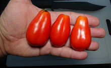 Here is the Guajito Tomato, PI 438877, Solanum lycopersicum. This tomato originates from Mexico and was first Collected on February 16, 1979 in a Public Market in San Cristobal de las Casas, Chiapas Mexico. The fruits are a very strange long pear shape with thin neck tomato type getting to about 2.75 inches long with a orange skin with light orange flesh inside. The strange thing about this variety is the the long neck on the tomato! Plants can get to 4 feet tall in really good soil but average around 3 feet. A must grow for any tomato collector! Great for salads, paste and for tomato sauce! Open pollinated indeterminate regular leaf 55-80 days.