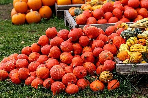 Here is the Red Kuri Squash, Cucurbita maxima. It is also known as the Hokkaido pumpkin. Red Kuri squash is a teardrop-shaped