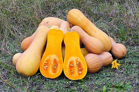 Here is the Waltham Butternut Squash,Cucurbita moschatais. This winter squash originated in Waltham, Massachusetts and is a improved version of butternut squash that has a sweet nutty flavor with orange flesh and tan skin. This 1970 All-America Selections winner has larger fruits and smaller seed cavities and can reach 10 inches long and 5-6 lbs.This squash is known for itssmooth texture and sweet flavor. It is most often used to make pies but can be used in soup. Plants are pretty productive getting to 11 feet long and making as many as 10 fruits per vine. a great choice for and garden! Open pollinated 90 to 110 days.