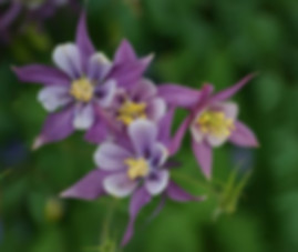 McKana's Giant Columbine mixed colors