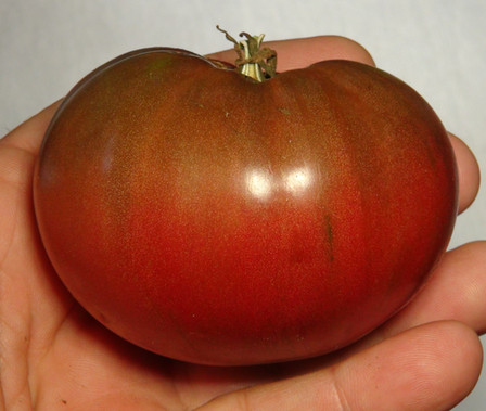 Here is the Faelan's First Snow Tomato, Solanum lycopersicum. This tomato originates from Fallsington, Pennsylvania, USA and created by Sherwoods seeds which is a Variegated Cherokee Purple tomato. The fruits are very consistent with the Cherokee Purple tomato slicer type getting to about 3 inches round with a deep purple skin with dark shoulders and a dark purple flesh inside. The strange thing about this variety is the Variegation on the plants! Plants can get to 3 feet tall in really good soil and lightly variegated leaves. Great for salads and for tomato sauce! Open pollinated Indeterminate regular leaf mid season 65-80 days.