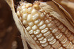 Here is the Stowell's Evergreen Corn,Zea mays.This variety of white corn goes way back to the early to mid 1800's and was developed by Nathan Stowell of NJ.Ears are sweet and get to 9 inches long with 8 to 10 foot tall stalks. This variety of corn is very demanding on the soil so make sure to ad a lot of compost. They also need full sun for fast stalk and cob development. Open pollinated85 to 100 days depending on location.