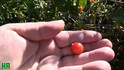 Here is theWild Florida Everglades Tomato (WFET),Solanum pimpinellifolium originates from Florida USA. It does exceptional well in hot humid weather. We found this variety of tomato highly adaptable to northern climates. They have a delicious flavor and make a great sauce! Plants can get to 40' long producing thousands of Current sized tomatoes! This by far is the heaviest producing tomato we have ever grown! Open pollinated Indeterminate, 65-75 days from transplant.