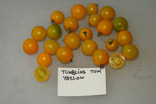 Here is the Tumbling Tom Yellow Tomato, Solanum lycopersicum. This tomato originates from the USA and some claim it to be a h