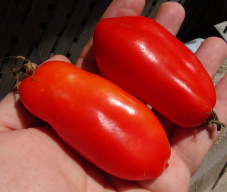 Here is the San Marzano Tomato, Solanum lycopersicum. This tomato originate from the small town of San Marzano sul Sarno, near Naples, Italy. Most San Marzano tomatoes sold commercially are grown in Italy. The flesh is much thicker with fewer seeds, and the taste is stronger, sweeter and less acidic then a Roma tomato. It makes a great tomato sauce as well as paste. Highly productive and produced fruit all the way up to the first frost! Open pollinated, Indeterminate. 65 days.