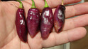 Here is the Pimenta da Neyde Pepper, Capsicum chinense, Scoville units: 10,000 to 200,000+ SHU. This Pepper originates from Brazil. It is a small sized elongated shaped pepper that looks similar to a condors beak pepper but this one is rare and difficult to get seeds for. It is said to be a natural cross of Capsicum annuum and Capsicum chinense but theirs no proof of this claim. Pods get to around 1.5 to 2.5 inches long with fruits having a black colored skin over a pink colored flesh when fully ripe. Plants can get to 3.5 feet tall and produce dozens of pods! Please note that the heat varies from pepper to pepper as some fruits are low heat but others may be very hot. We found these to be great for roasting and fresh eating too! Open pollinated mid season 65 to 90+ days.