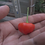 Here is the Peito de Moça Pepper, Capsicum baccatum, Scoville units: 10,000 ~ 50,000 SHU. This pepper originates from Brazil