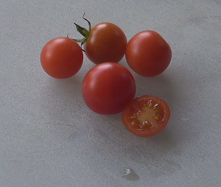 Here is the Tiny Tim Dwarf Tomato, Solanum lycopersicum originates from the USA and was introduced by the University of New Hampshire in 1945. It does exceptional well in hot humid weather. We found this variety of tomato to do quite well indoors. They have a delicious flavor and make a great sauce! Plants can get to 8-16 inches tall producing dozens of Cherry sized tomatoes! This is good producing tomato variety! Diseases resistant to, Alternaria Stem Cancer and Stemphylium. We do have reason to believe this variety to be semi-determinate. Open pollinated determinate, 65 days from transplant.