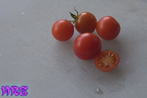 Here is the Tiny Tim Dwarf Tomato, Solanum lycopersicum originates from the USA and was introduced by the University of New H