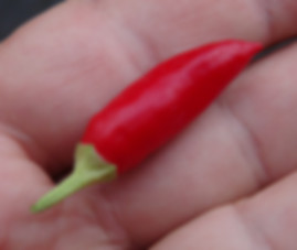 Here is the Candlelight Pepper, Capsicum annuum,  Scoville Units: 500 ~ 5,000 SHU. This ornamental is very popular in front yard garden beds. It is a short bush type only getting to around 18 inches. The pods cluster at the top sometimes in bunches or as single fruits and get to around 1.5 inches long upright pods. Color goes from yellow to orange to red and will dry on the plant rather fast. These peppers are edible and make a great powder and we found them to be good for pickling too! Open pollinated 70 days. Visit HRSeeds.com for your garden seeds!