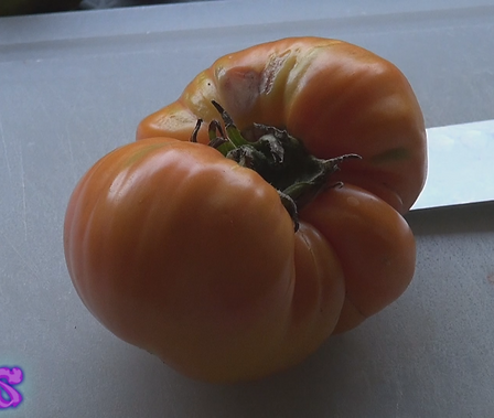 """Here is the Hillbilly Tomato, Solanum lycopersicum, The Hillbilly Tomato, it is also known as the hillbilly potato leaf tomato This heirloom cultivar originated from West Virginia in the 1800s. The fruits is considered a beefsteak tomato weighing 1 to 2 pounds. The fruits are round andheavily ribbed and its skin and flesh is orangeyellow with red streaks. The flavor is described """"sweet and fruity"""" and is low in acid. Great producer for such a large tomato. Indeterminate Open pollinated 80 days."""