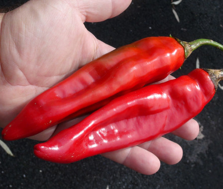 Here is the Puya Chile Pepper, Capsicum annuum, Scoville units: 5,000 to 8,000 SHU. The Puya Chile Pepper or Pulla Pepper originates from Mexico and widely used throughout central America. Do not confuse this pepper with the GuajilloPepper which is much less hotter then the Puya Pepper. It is said that Puya chilies are the same as Mirasol chili pepper but we find them to be different. This pepper is also widely used in Chinese dishes and are called Jinta peppers 金塔椒. One plant can produce dozens of peppers and will dry on the plant if left attached. Plants can get to 5 feet tall. You can Grow it as an ornamental, or in the vegetable garden, or both! Open pollinated 85 days.