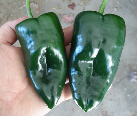 The Pablano pepper, Capsicum annuum, Scoville units: 50 - 2000 SHU. Itis one of the most popular chilies in Mexico! 3 to 6 inch heart shaped fruits are usually low in heat, averaging around 100scovilles. Used green, after roasting and peeling, it is the classic pepper for Chili Rellenos. Dried, the fruits turn a rich dark red-brown and may be ground into an authentic red chili powder. Plants reach 2 feet or so and require a long season. Open pollinated 95 days.