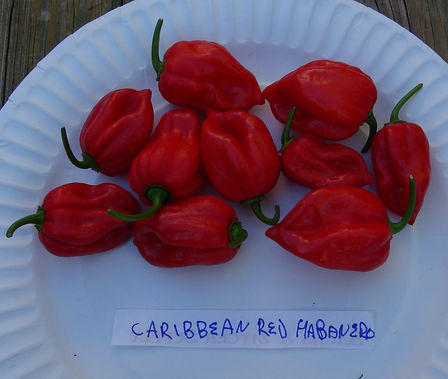 Here is the Caribbean Red Habanero Pepper, Capsicum chinense, Scoville units: 200,000 to 500,000SHU. This pepper originates from the Yucutan Peninsula in Mexico. Once holding the record as the hottest pepper in the world, the Caribbean Red Habanero pepper eclipses even the lofty spiciness of the Orange Habanero. Rates upwards of 400,000 on the Scoville scale. Small bushy plants get to 1 to 3 feet tall and can be a heavy producer with pods about 2 inches long. Great for making hot sauces and salsa's.Open pollinated 80 days.