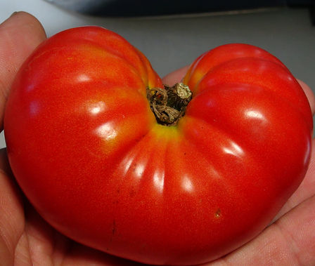 Here is the Waratah Dwarf Tomato, Solanum lycopersicum. This tomato originates from USA and was created by Patrina Nuske Small from the Dwarf Tomato Project. The fruits are a medium sized slightly flattened beefsteak type tomato with an orange skin with green shoulders and deep red flesh inside that gets to about 3 to 4 inches round and weighting around 10 oz. The thing about this variety is the shape resembles a flattened pumpkin! Plants can get to 3.5 feet tall in really good soil but plants tend to get to 2.5 feet tall. Great for salads, eating fresh and for tomato sauce and paste! Open pollinated Semi-determinate regular leaf mid season 65-80 days.