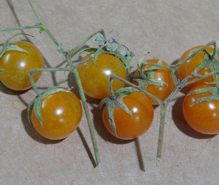 "Here is the Galapagos Wild Tomato Minor, Solanum galapagense. It also goes under the botanical name of Lycopersicon cheesmaniae var. minor or L. cheesmanii var. minor but the (Solanum galapagense) is the accepted botanical name. Their are 2 species native to the Galapagos Islands, major and minor. There are also 2 variations of the minor, a hairy type (1) and a non-hairy type (2). This listing is for the minor (Solanum galapagense) non-hairy type (1) variety. The wild tomato (Solanum galapagense) from Galapagos Archipelago is a very rare tomato type to come across! This Indeterminate, regular leaf, perennial tomato plant produces 3/8"" sized, orange, tomatoes that have a smooth skin (non-hairy) and can be a heavy producing variety. We found this variety to be resistant to most diseases. The fruits are edible and delicious BUT may have a toxicity so grow it as an ornamental till further research is done. We have eaten them already and had no side affects. This species tends to handle coo"