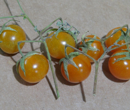 """Here is the Galapagos Wild Tomato Minor,Solanum galapagense. It also goes underthe botanical name ofLycopersicon cheesmaniae var. minor orL. cheesmanii var. minor but the (Solanum galapagense) is the accepted botanical name. Their are 2 species native to the Galapagos Islands, major and minor. There are also 2 variations of the minor, a hairy type (1) and a non-hairy type (2). This listing is for the minor (Solanum galapagense) non-hairy type (1) variety. The wild tomato (Solanum galapagense) from Galapagos Archipelago is a very rare tomato type to come across! This Indeterminate, regular leaf,perennial tomato plant produces 3/8"""" sized, orange, tomatoes that have a smooth skin (non-hairy) and can be a heavy producing variety. We found this variety to be resistant to most diseases. The fruits are edible and delicious BUT may have a toxicity so grow it as an ornamental till further research is done. We have eaten them already and had no side affects. This species tends to handle coo"""