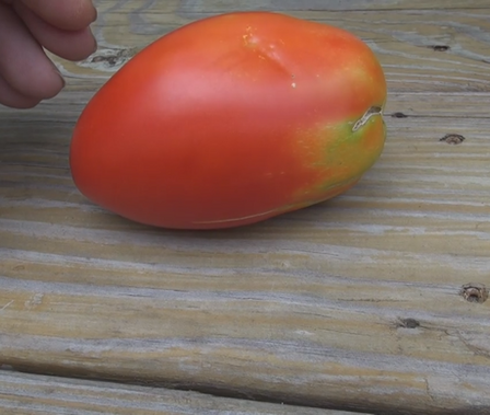 Here is the Polish Linguisa Tomato, Solanum lycopersicum. It's a fat sausage shaped tomato bearing red ripening fruits that grow up to 10oz. Plants are quite productive, fruits are sweet and are tasty fresh, but also make great paste tomatoes. Dates back to the 1800's, from the East Coast of the U.S.  Open pollinated. Indeterminate. 70-75 days.