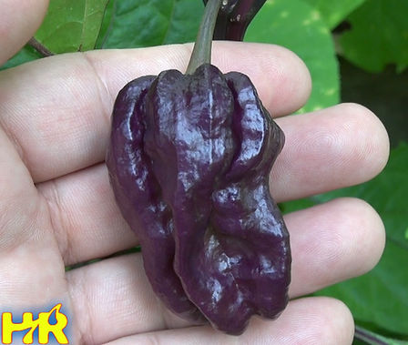 Here is the Yaki Blue Fawn Pepper, Capsicum chinense X Annuum, Scoville units: 150,000 ~ 600,000SHU. It is a cross between Bhut Jolokia and Filius Blue cultivars. A fairly rare variety with an unclear origin. Yaki Blue Fawn bears long, 2 1/2 inchwrinkled fruits that ripen to a blue-purple hue with a tinge of deep orange when fully ripe. The fruits are similar to the Habanero variety, but reportedly shows more heat and may be marginally larger in size. Whatever its history, the variety bears highly desirable fruits, with intense heat and an interesting citrus-like flavor. Plants get to 5 feet tall and are good producers. Care should be taken when handling pods as they are extremely hot. Open pollinated 87 days.