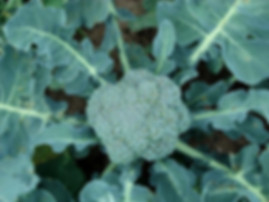 Broccoli Organic Sprouting Seeds