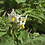 Here is the Litchi Tomato or Morelle De Balbis, Solanum sisymbriifolium, This plant is native of South America, mostly Paragu