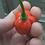 Here is the Aji Dulce #2 Pepper, Capsicum chinense, Scoville units: 800 ~ 1200 SHU. The Aji Dulce #2 Pepper originates from V