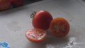"""Here is the Celebration Tomato, Solanum lycopersicum, new for 2019. Please don't confuse this with the Celebrity Tomato. This Determinate, regular-leaf slicer tomato is a commercial variety which is an improved version of the celebrity tomato. Tho it is considered a HY Hybrid, we found this variety to come true every year from seed. It is a good producer an found this tomato variety to be very hardy and resistant to most blights, FW1&2, TMV, V and Crack, drought and disease resistant. The fruits do vary in size and can reach 3"""" across and 3 to a bract. Great for making sauces or eating fresh in salads, open pollinated 70 days."""