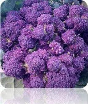 Early Purple Broccoli
