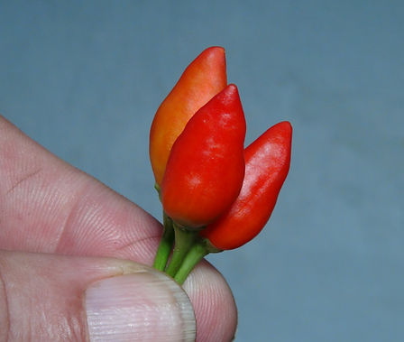 "Here is the Red Crystal Spike Pepper, Capsicum annuum, Scoville units: 1000 to 6,000 SHU. This pepper has it's origins from Canada. The peppers get to around 1.5 inches long and smooth skinned that are an upright type large bird pepper. Pods start out green in color then turn to red in color when fully ripe. Plants can get to 3+ feet tall and tend to be really good producers. Pods have an nice annuum like flavor with a very nice smooth crunchiness that is very satisfying but some peppers may be very hot! Here is what the person who sent the seeds told us: ""Back in 2009 i found a small pepper in my brothers back seat storage in his car. He said he got it from his boss mucci farms at least 3 years before i found it. When i took seed it gave this potent scent, i couldn't stop coughing. Within a minute of extracting the seeds it started to burn through my gloves. I planted them in my father's greenhouse, which they also planted, chilaca peppers, jalapenos, ancho peppers and super shepherd"