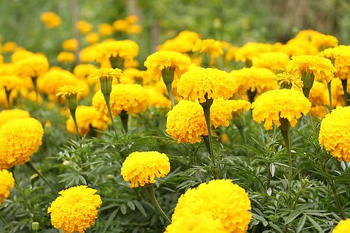 The Spun Gold Marigold Flowers Blooms naturally occur in golden, yellow. Planted as annuals, these beautiful flowers will blo