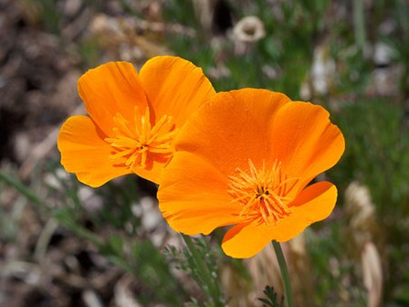 Here is the California Poppy Orange, Eschscholzia californica. Itis a species of flowering plant in the Papaveraceae family. It is also a perennial or annual plant with bright orange flowers. The leaves are alternately divided into round, lobed segments. The flowers are solitary on long stems, silky-textured.Its native habitat includes California and extends to Oregon. Open pollinated 45 to 65 days