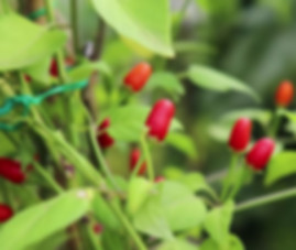 Here is the Cobincho Pepper, Capsicum exile, Scoville units: 8,000 ~ 15,000 SHU.The pepper species originates from the mountains of Bolivia. It is a perennial member of the genus Capsicum and is a sub species of Capsicum chacoense. They have a SHU of about 15,000 and can be quite hot! The pods are about 3/8 inches long with a blunt nose unlike the pequin pepper. Plants can get to 6 feet tall and very leggy with small leaves. This is NOT a beginners pepper. Seed starts are sporadic an difficult to start. Seeds can take as long as 2 months to sprout! Open pollinated 120+ days.