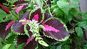 Here is the Watermelon Coleus,Solenostemon scutellarioidesplant. It is a medium to large annual ornimental flower plant. is popular as a garden plant for its brightly colored foliage. This plant prefers bright, but indirect sunlight. If direct sunlight touches the plant's leaves, the colors become less brightly colored. Outside this plant needs total shade or only the most mild morning sunlight. This is a ornamental variety. Open pollinated, early to mid season 30 to 80 days.