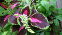 Here is the Watermelon Coleus, Solenostemon scutellarioides plant. It is a medium to large annual ornimental flower plant. is popular as a garden plant for its brightly colored foliage. This plant prefers bright, but indirect sunlight. If direct sunlight touches the plant's leaves, the colors become less brightly colored. Outside this plant needs total shade or only the most mild morning sunlight. This is a ornamental variety. Open pollinated, early to mid season 30 to 80 days.
