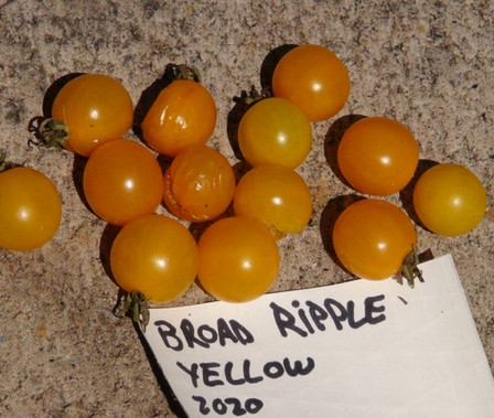 Here is the Broad Ripple Yellow Tomato, Solanum pimpinellifolium. This tomato originates from Indianapolis, Indiana USA. It is said that found growing from the crack in a sidewalk by John Hartman in the mid 1900's. There are to variations of this tomato, Red and Yellow. This listing is for the yellow variety. The tomatoes are 1/2-inch round almost translucent yellow, currant sized low-acid tomatoes. They do well in cooler climates and the plants get to 10+ feet long. Fun for all ages and the kids love them! Open pollinated early season Indeterminate regular leaf 60-80 days.