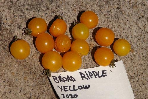 Here is the Broad Ripple Yellow Tomato , Solanum pimpinellifolium. This tomato originates from Indianapolis, Indiana USA. It