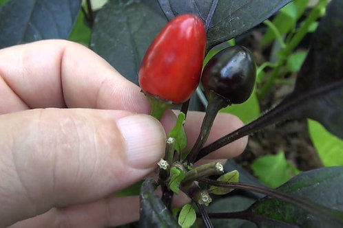 Here is the Bellingrath Gardens Pepper, Capsicum annuum, Scoville units: 50,000+ SHU. This Plant produces good yields of smal